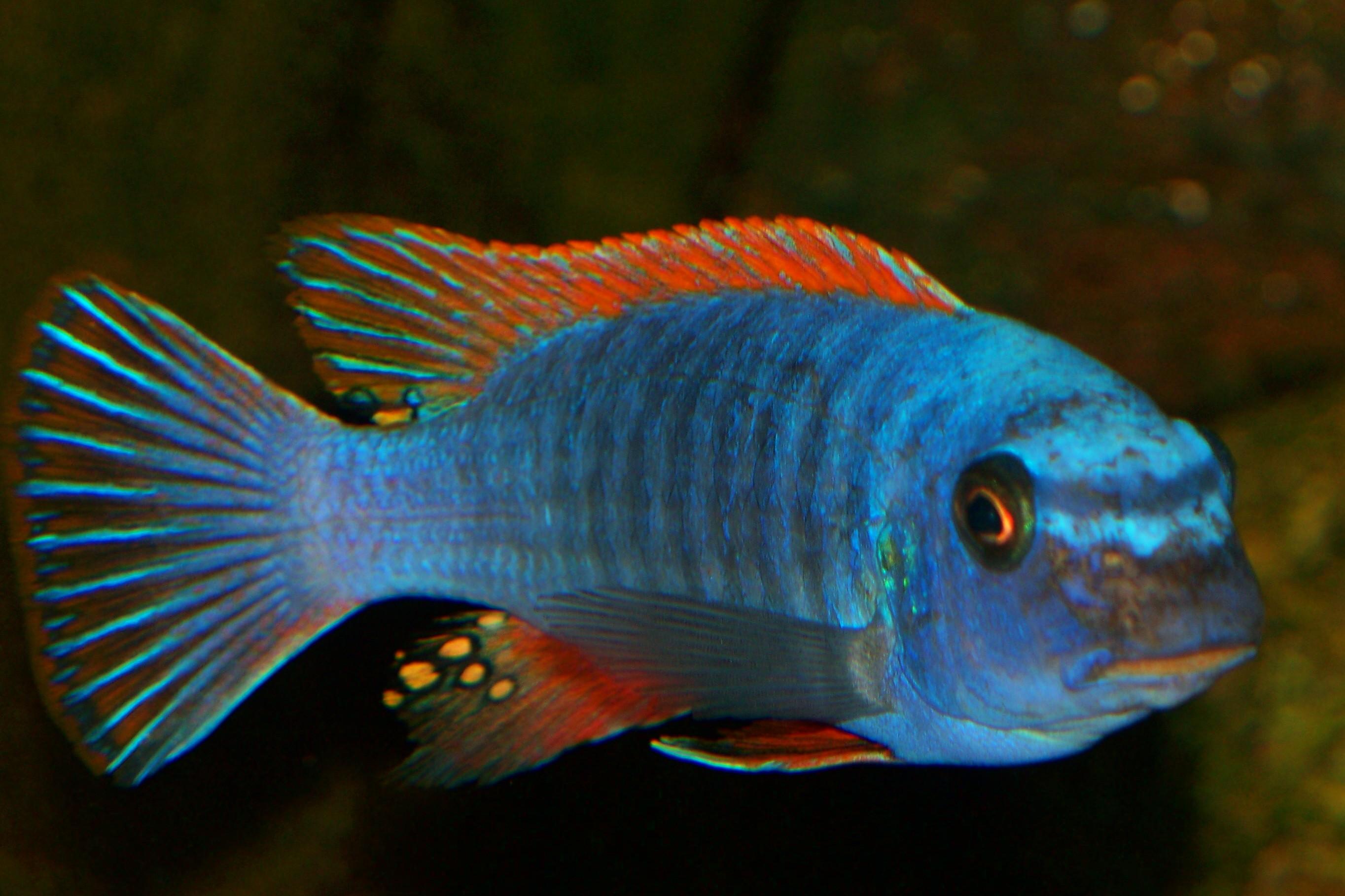 Labeotropheus trewavasae red