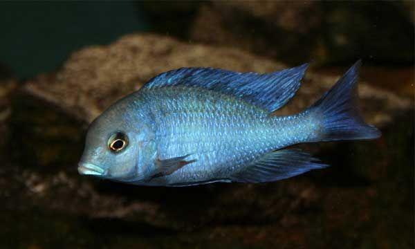 Cyrtocara moorii, Haplochromis moori, Malawi Blue Dolphin Cichlid, Hump-Head Cichlid