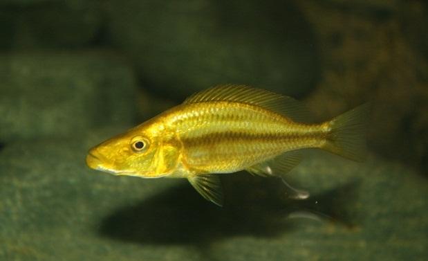 Dimidiochromis compressiceps  gold