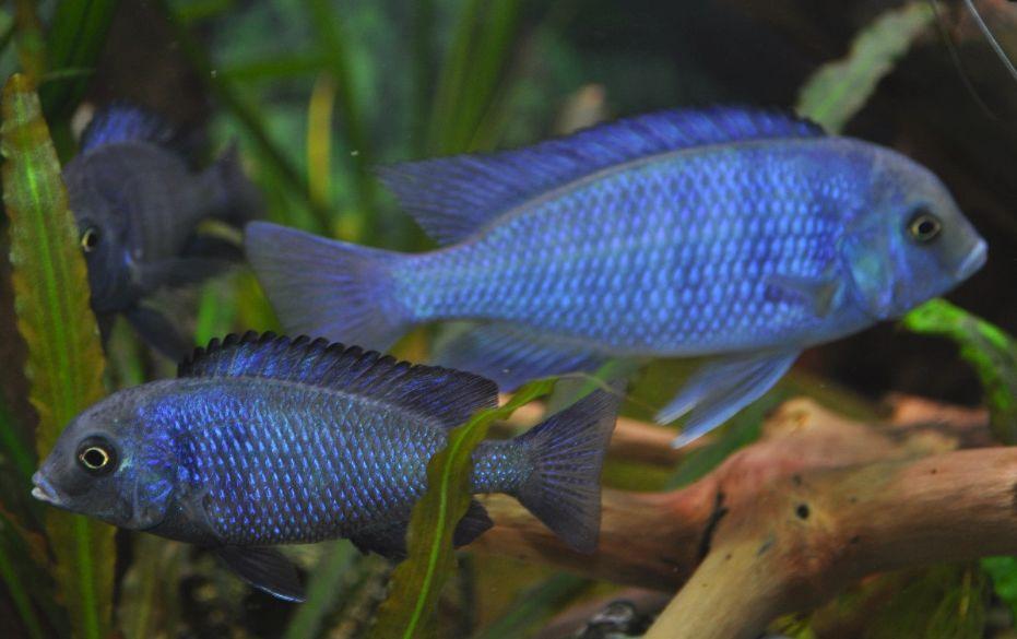 mascul si femela ciclide africane Cyrtocara moorii, Haplochromis moori, Malawi Blue Dolphin Cichlid, Hump-Head Cichlid