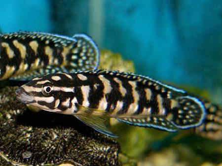 julidochromis transcriptus gombi