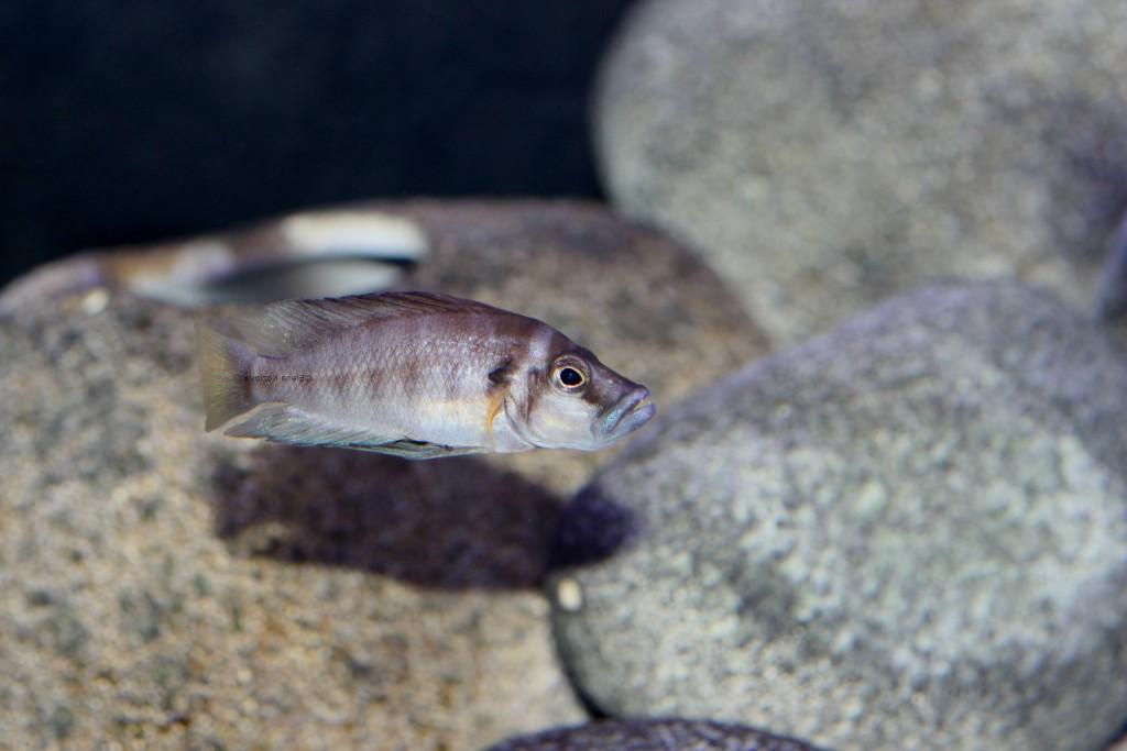 Altolamprologus Compressiceps - Sumbu Shell Mbita