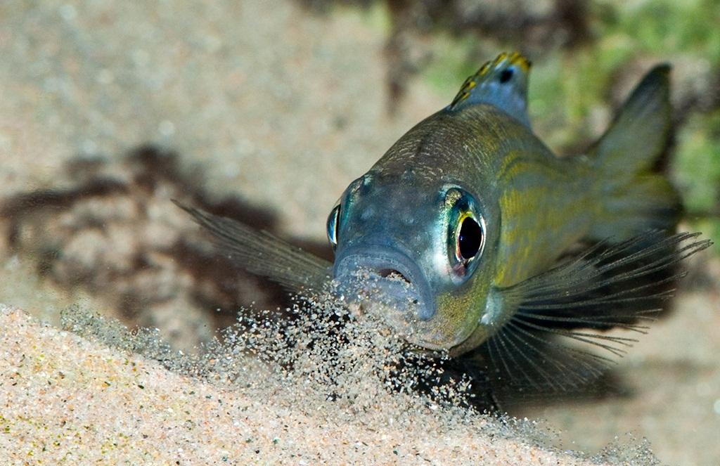Aulonocranus dewindti, Lacul Tanganyika