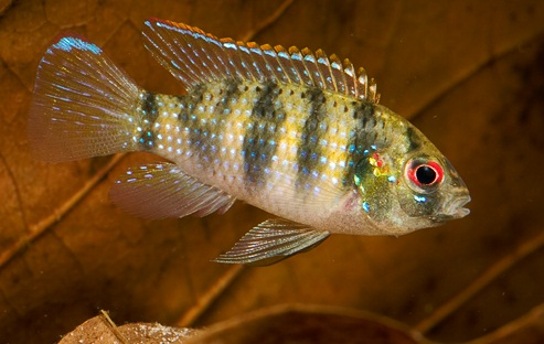 African Butterfly Cichlids,  Anomalochromis thomasi