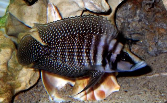 Altolamprologus calvus Black White Pearl