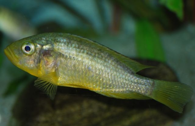 Astatoreochromis alluaudi femela ciclide africane