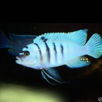 Cynotilapia Hara Gallireya Reef