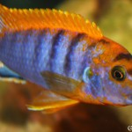 Labidochromis hongi SRT