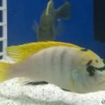 Labidochromis Perlmutt