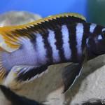 """Labidochromis sp. """"Mbamba"""" bay"""