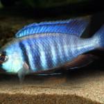 Placidochromis Elektra Likoma