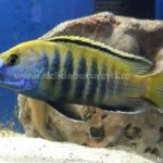 Sciaenochromis Fryeri Electric yellow