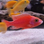 aulonocara firefish red dragon