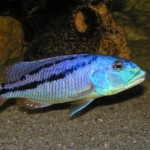 ciclide africane Aristochromis christyi Lacul Malawi