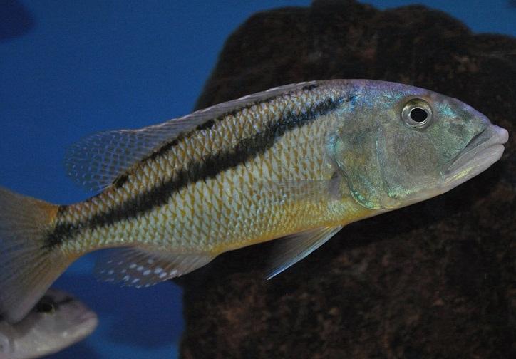 ciclide africane Aristochromis christyi femela