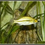 ciclide africane de vanzare Dimidiochromis compressiceps gold Chizumulu