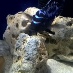 melanochromis johanni electric blue