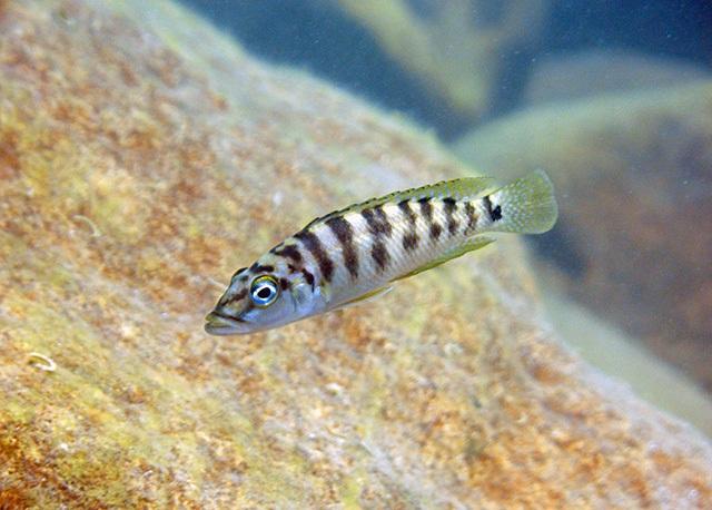 Altolamprologus fasciatus