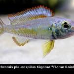 Callochromis Pleurospilus Kigoma Flame Rainbow