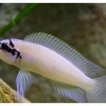 Chalinochromis Brichardi ciclie africane