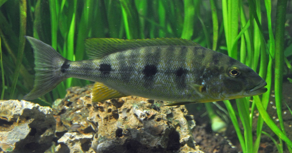 Giant Tanganyika Cichlid, Boulengerochromis microlepis