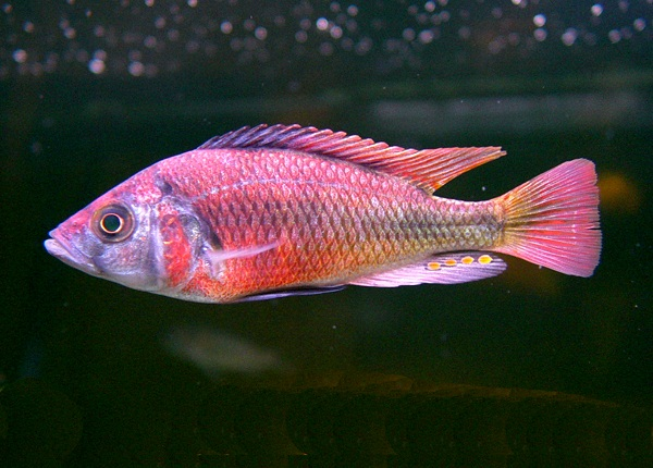 Lithochromis rufus, Haplochromis rufus