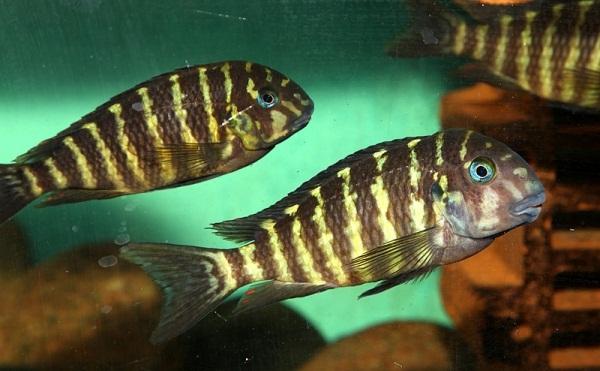 pesti acvariu ciclide africane Tropheus annectens