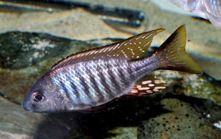 Aulonocara aquilonium