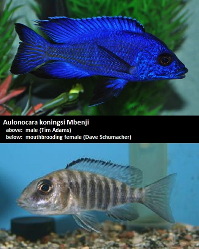 Aulonocara koningsi Blue Regal