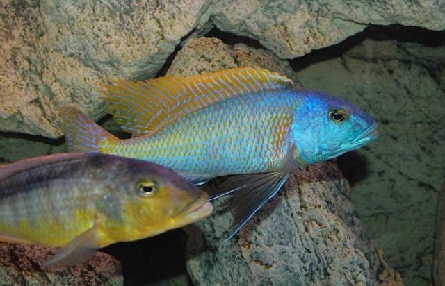 Buccochromis-rhoadesii