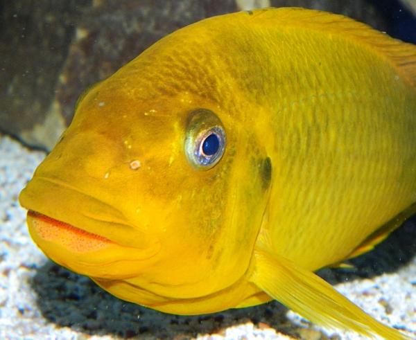 Petrochromis moshi yellow