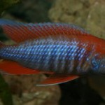 ciclide africane Aulonocara Jacobfreibergi cape maclear