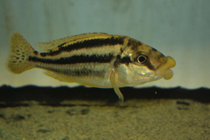 Cheilochromis euchilus mascul