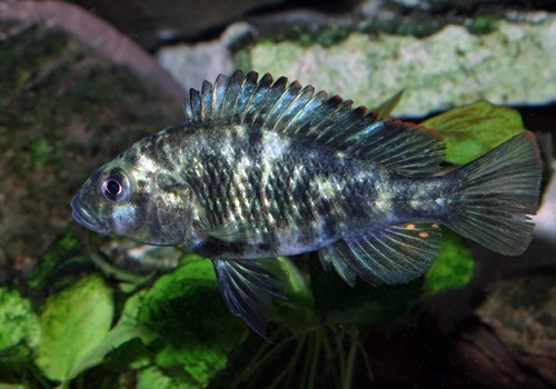Lacul Victoria, ciclide africane Paralabidochromis chromogynos  zue island