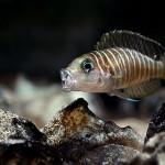 Lamprologus Similis, Zebra Shelldweller, Neolamprologus similis