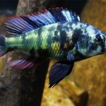 mascul Paralabidochromis-chromogynos-Victoria-Basin-Cichlids
