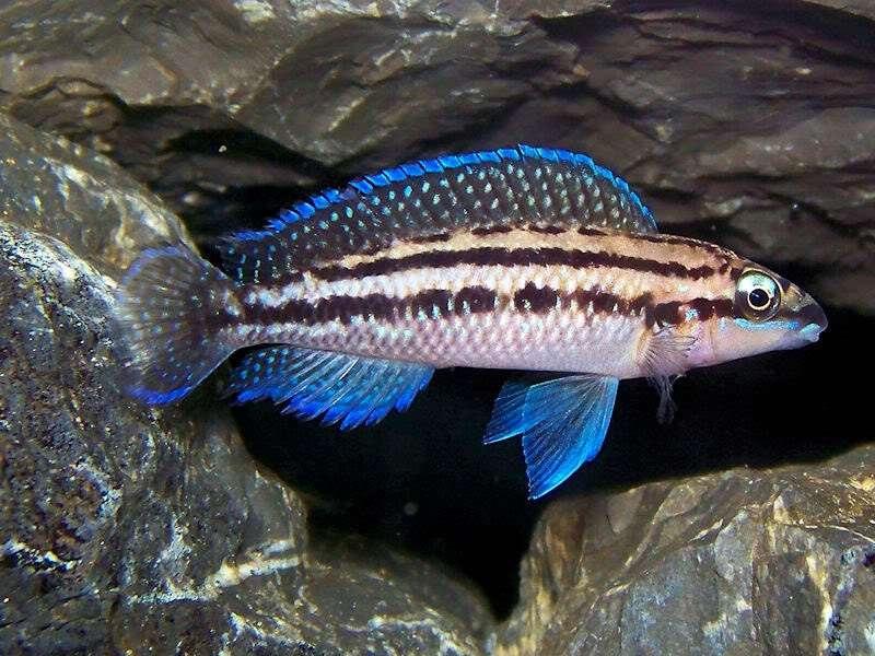 Ciclide Africane Julidochromis Dickfeldi