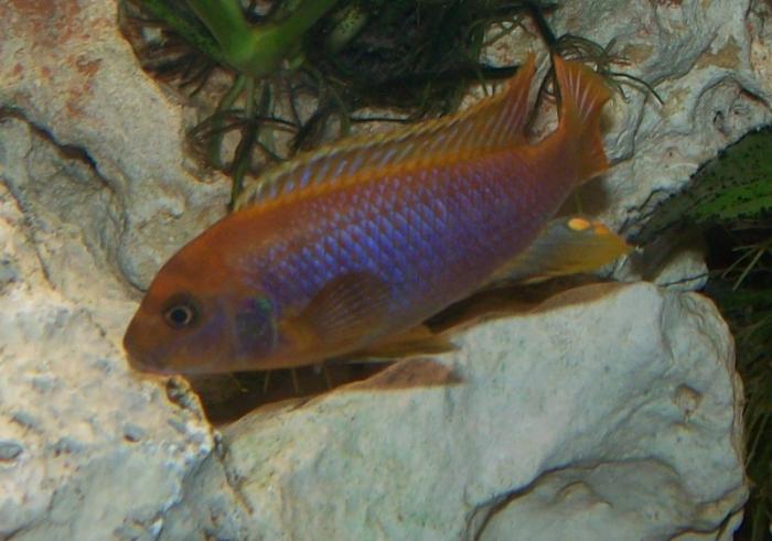 Iodotropheus sprengerae - Rusty Cichlid