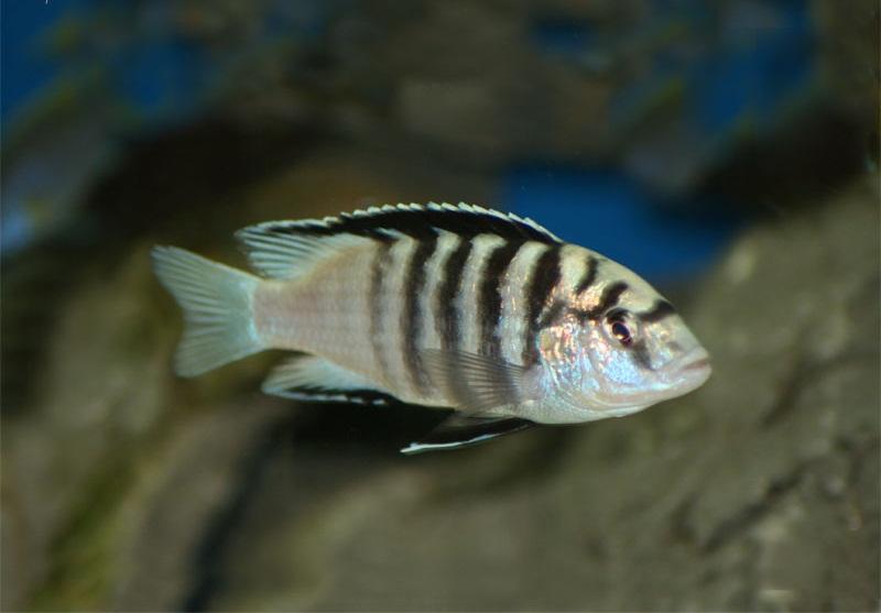 Labidochromis caeruleus Nkali