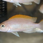 "Lamprologus caudopunctatus ""Kapampa"""