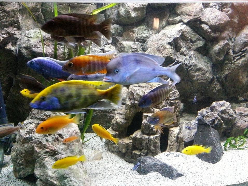 Nimbochromis venustus-aulonocara jacobfreibergi-cyrtocara moorii