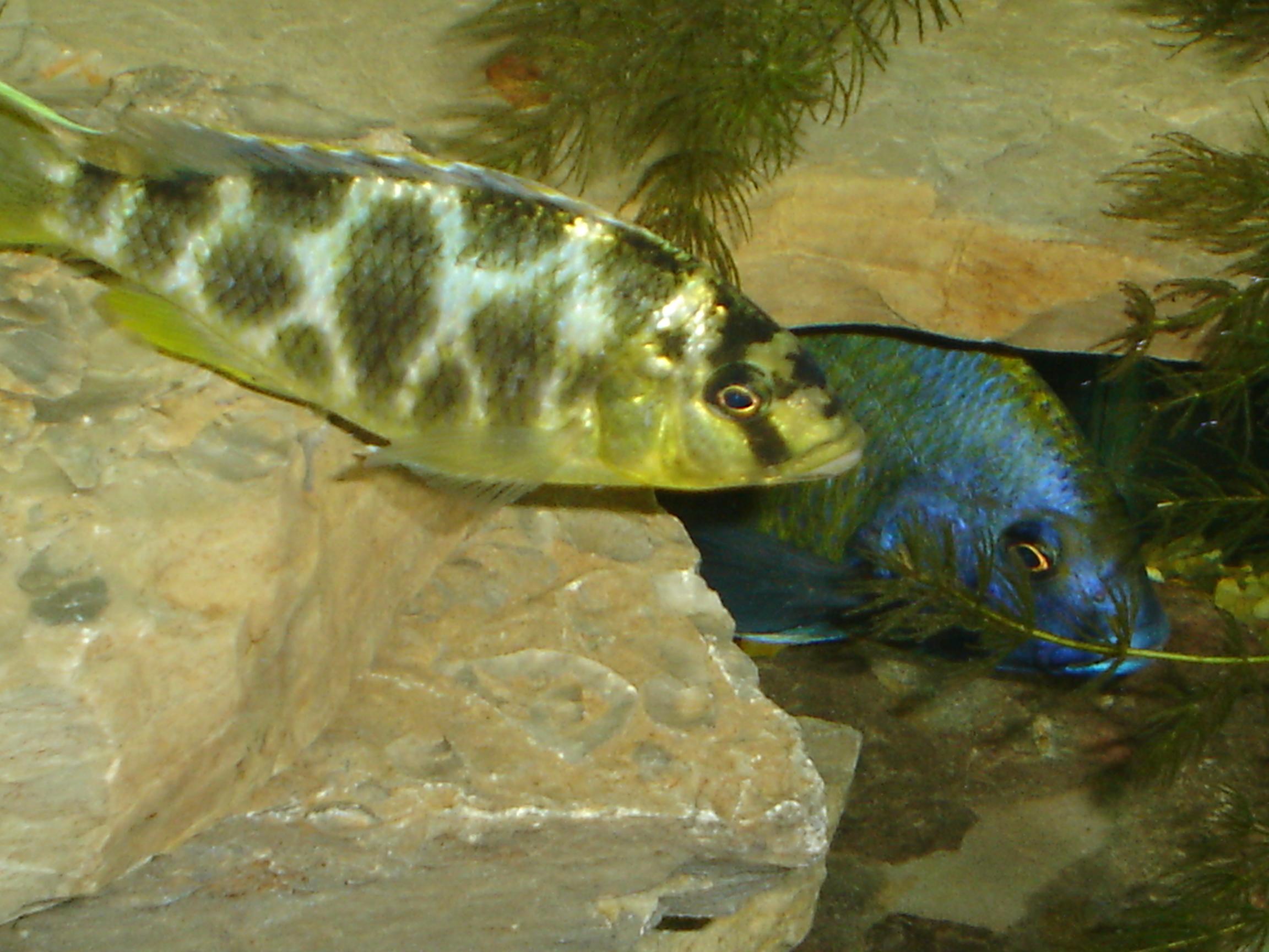 Nimbochromis venustus pereche