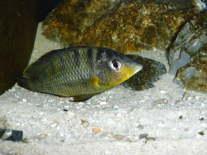 ciclide africane Gnathochromis pfefferi