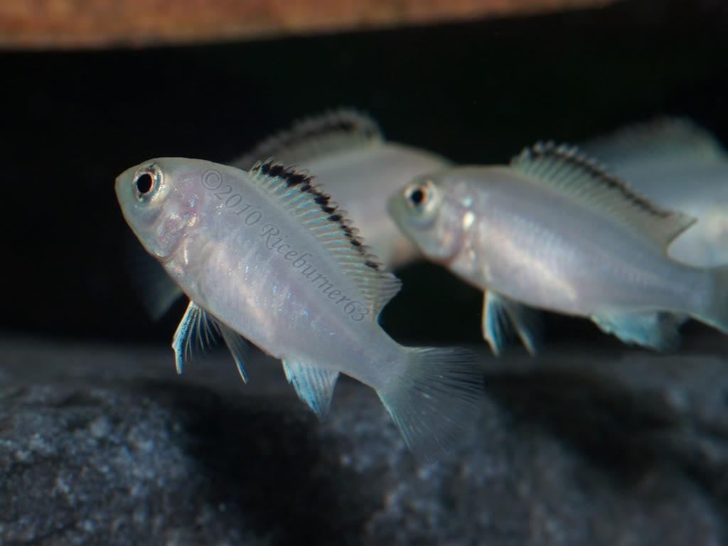 ciclide africane Labidochromis Caeruleus nkhata bay