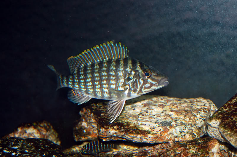 ciclide africane Lobochilotes labiatus