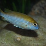 ciclide africane din Lacul Malawi Gephyrochromis lawsi