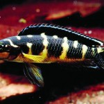 julidochromis transcriptus kissi