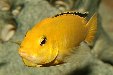 pesti ciclide africane labidochromis caeruleus yellow femela gusata cu pui