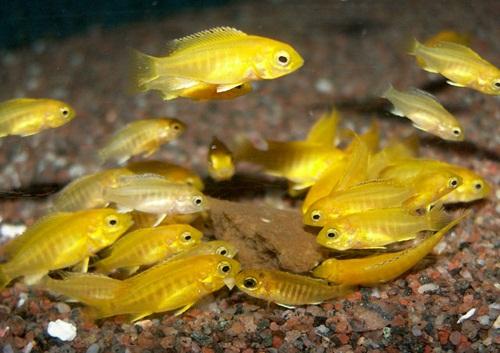 pui labidochromis caeruleus