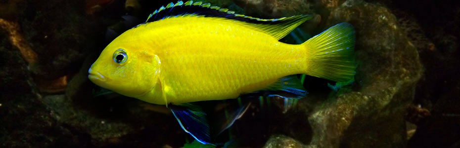 "Labidochromis Caeruleus ""Electric yellow"""